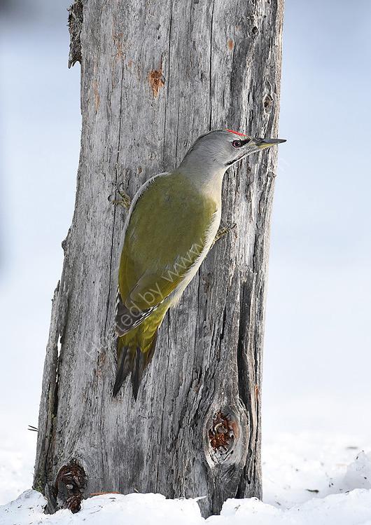 Male Grey Headed woodpecker rear view