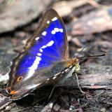 Male Purple Emperor part open