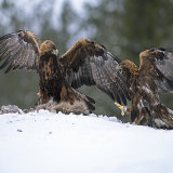 Male and female eagles fighting