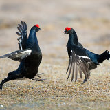 Male black grouse on lek