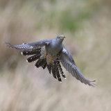 Male cuckcoo in flight