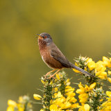 Male dartford warbler singing