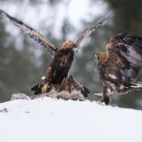 Male eagle challenging for food