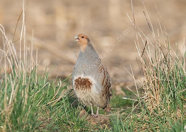 Male grey partridge calling