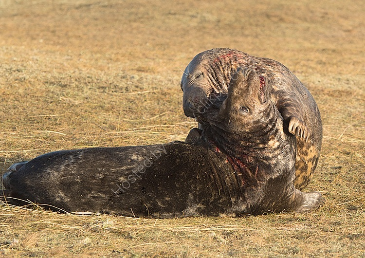 Male greys seals fighting