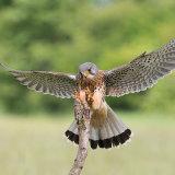 Male kestrel landing