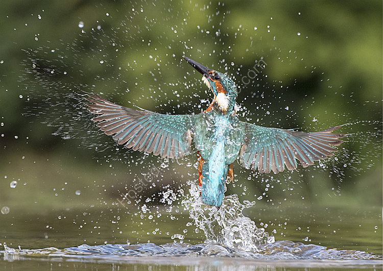 Male kingfisher leaving the water