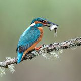 Male kingfisher with fish