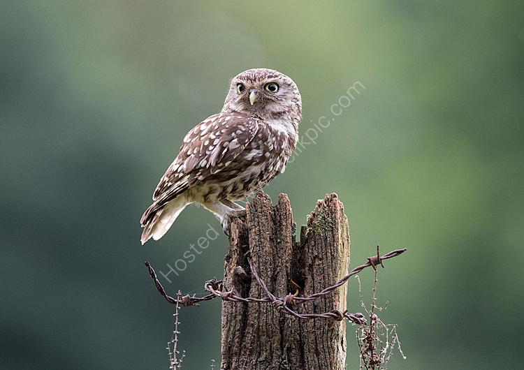 Male little owl