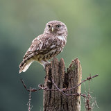 Male little owl