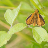 Male lulworth skipper