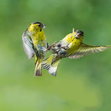 Male siskins fighting