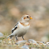 Male snowbunting