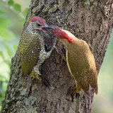 Male woodpecker feeding chick