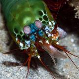 Mantis shrimp with prey