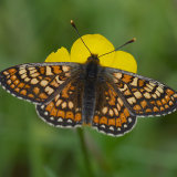 Marsh fritillary on buttercup