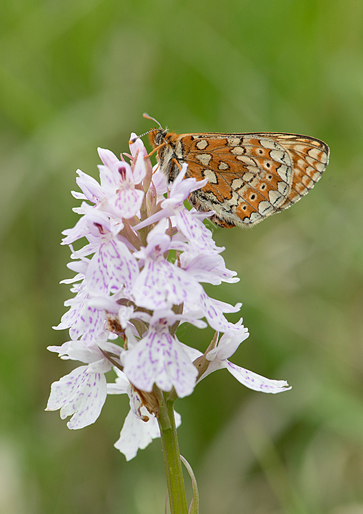 Marsh fritillary on spotted orchid