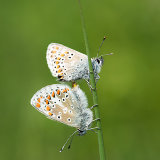 Mating Brown argus