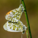 Mating orange tips