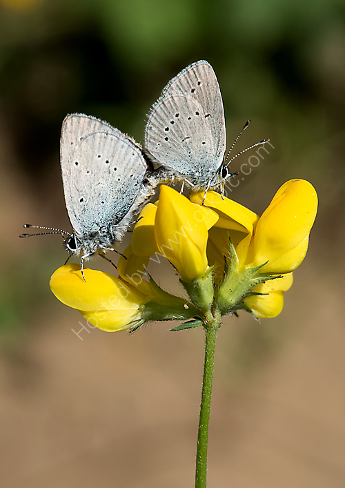 Mating small blues