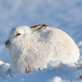 Mountain hare in sunshine
