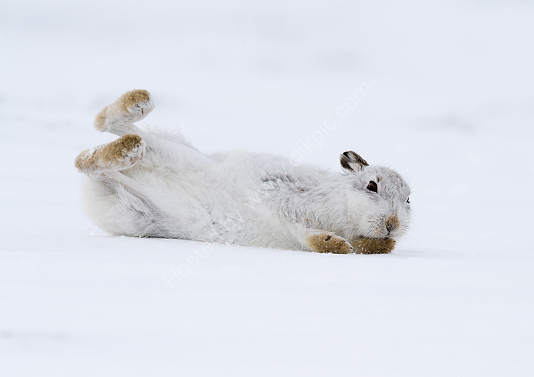 Mountain hare rolling