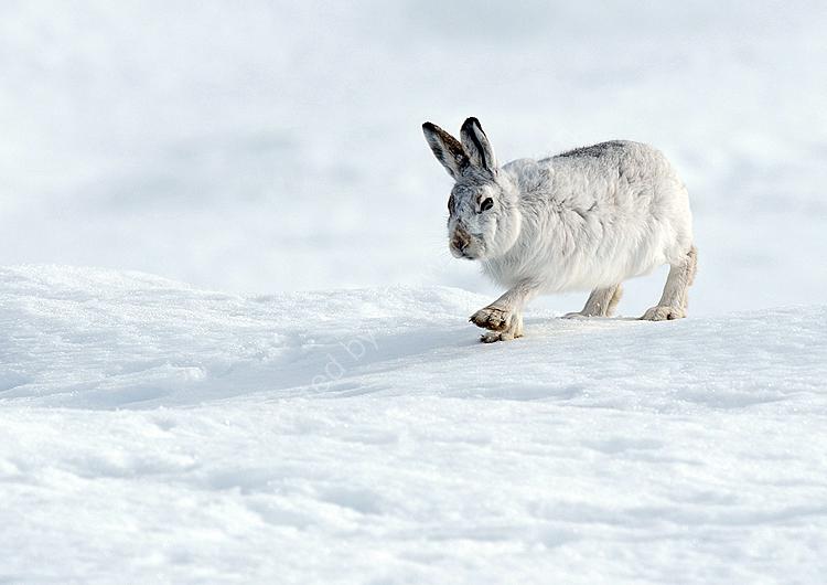 Mountain hare walking