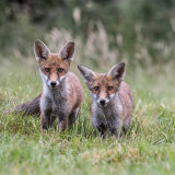 Naughty baby foxes