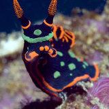 Nembrotha Nudibranch Mbike Wreck