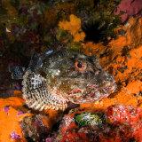 Northern scorpion fish