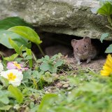 Nosey bank vole