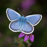 Open sliver studded blue butterfly