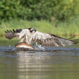 Osprey  and rainbow trout