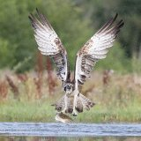 Osprey in full flight
