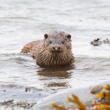 Otter emerging  from sea