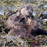 Otter fighting