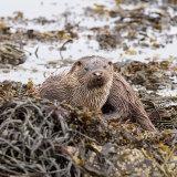 Otter lies seaweed