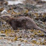 Otter on rocks