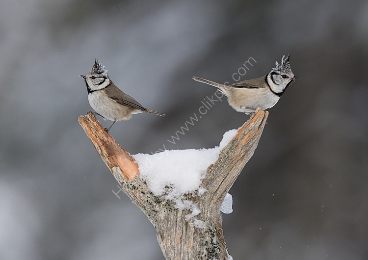Pair crested tits