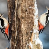 Pair great spotted woodpeckers