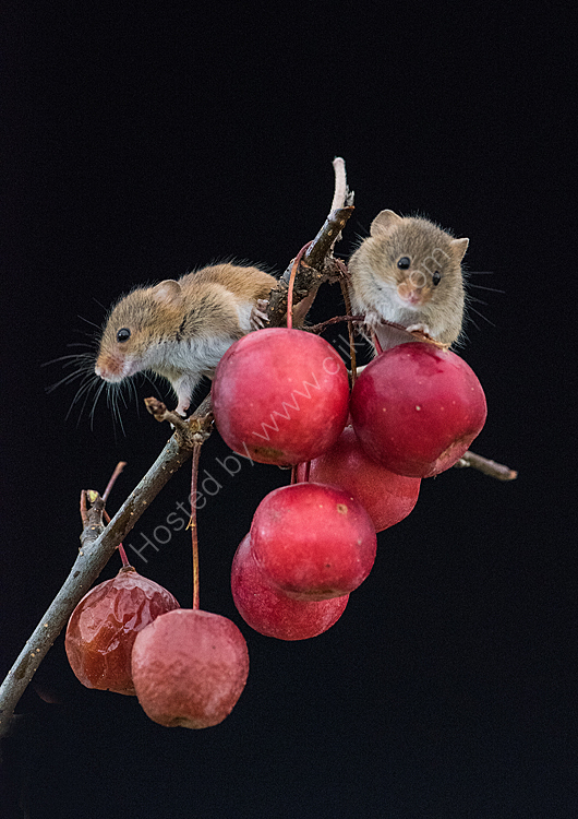 Pair harvet mice on apples