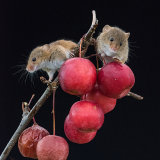 Pair harvet mice on apples