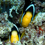 Pair of anaenome fish in spiral coral