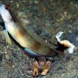 Partner gobie and shrimp