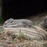 Piglet nest