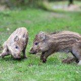 Piglets sparring