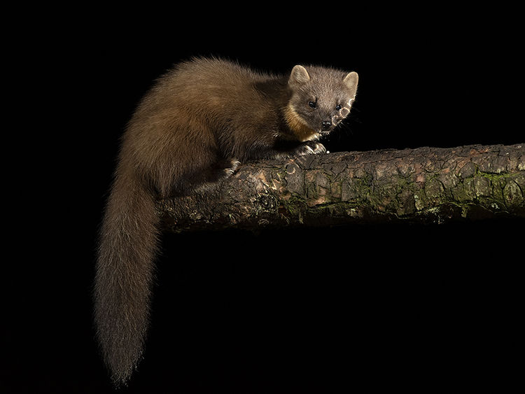 Pine martin on end of log