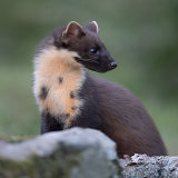 Pine martin side view