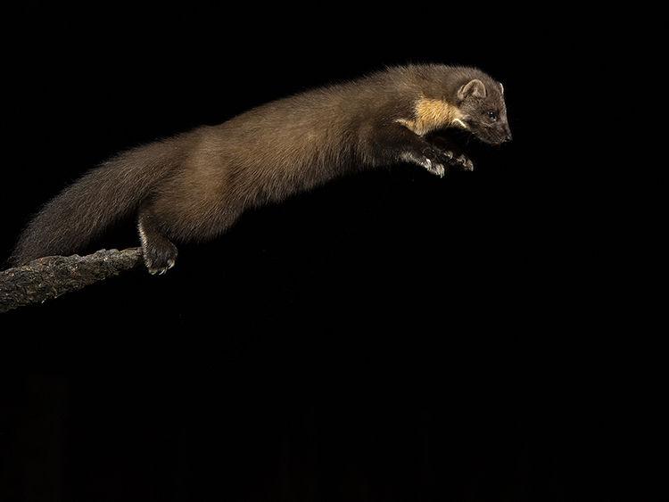 Pine martin taking off