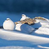 Ptarmigan group enjoying the sunshine